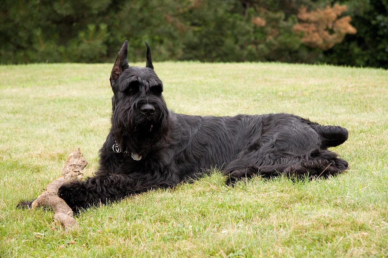 雪納瑞未改良前的體型較大,一次世界大戰前,他們一直擔任著家畜警備犬、農作運送犬、傳令犬與救護犬等工作
