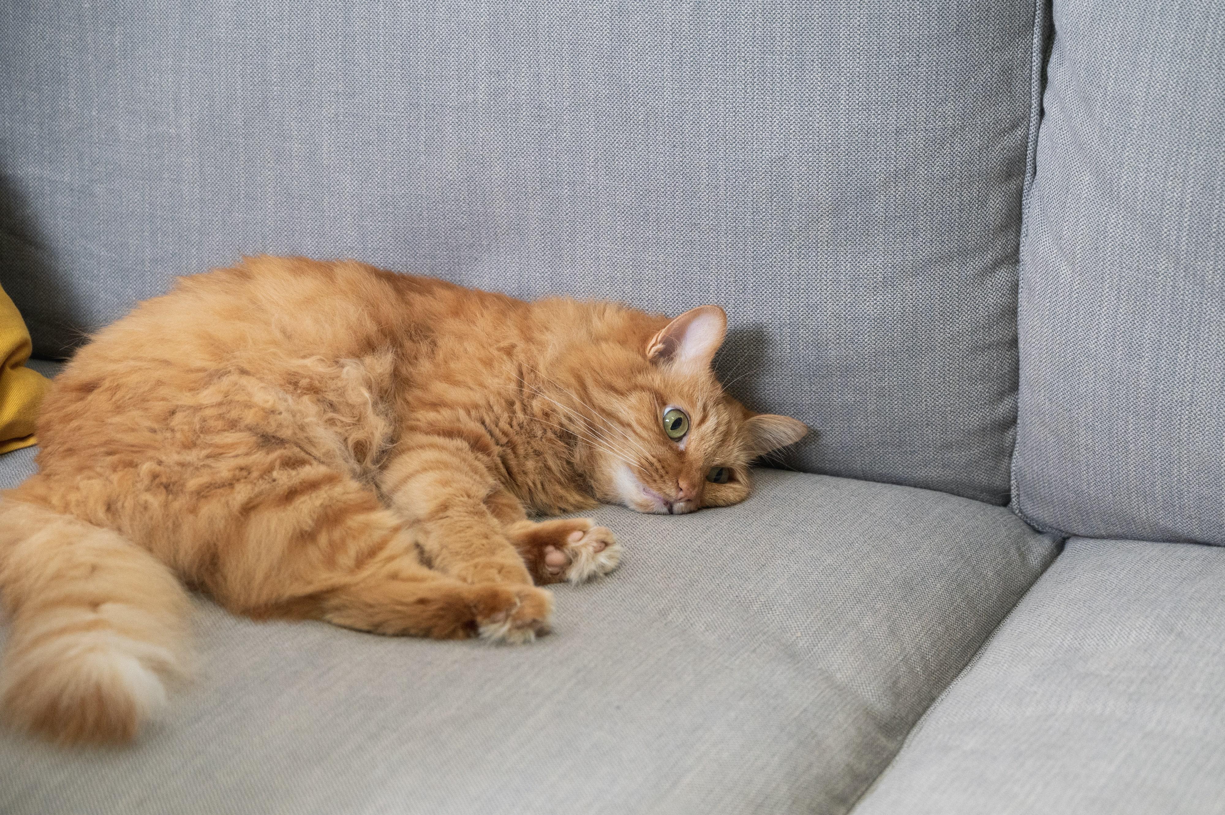 為了瞭解橘小橘的【貓高知覺過敏症】,林醫師踏進貓行為諮詢治療領域