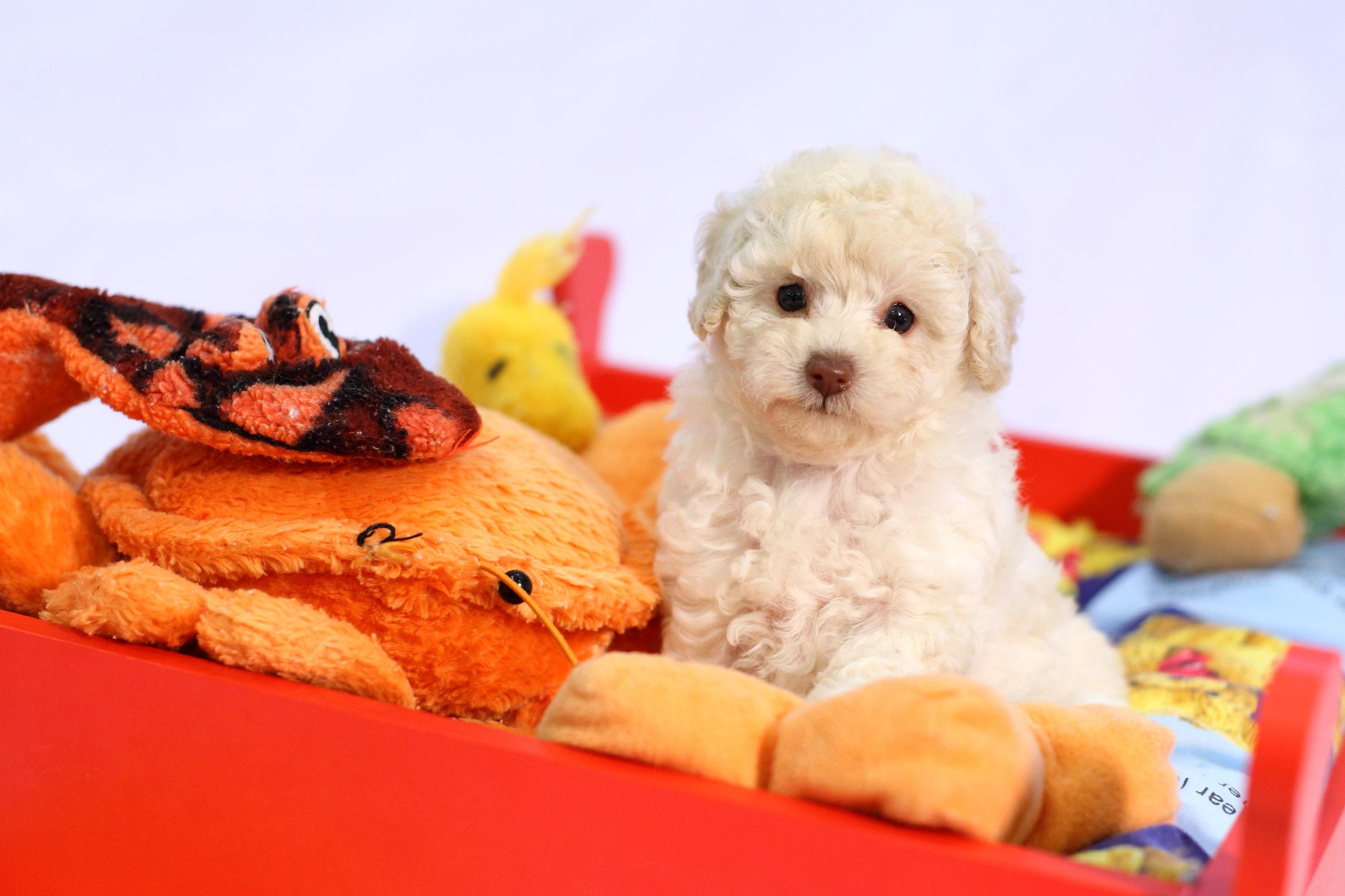 泰迪貴賓的稱呼來自人們將貴賓狗修剪成熊仔玩具般的樣貌