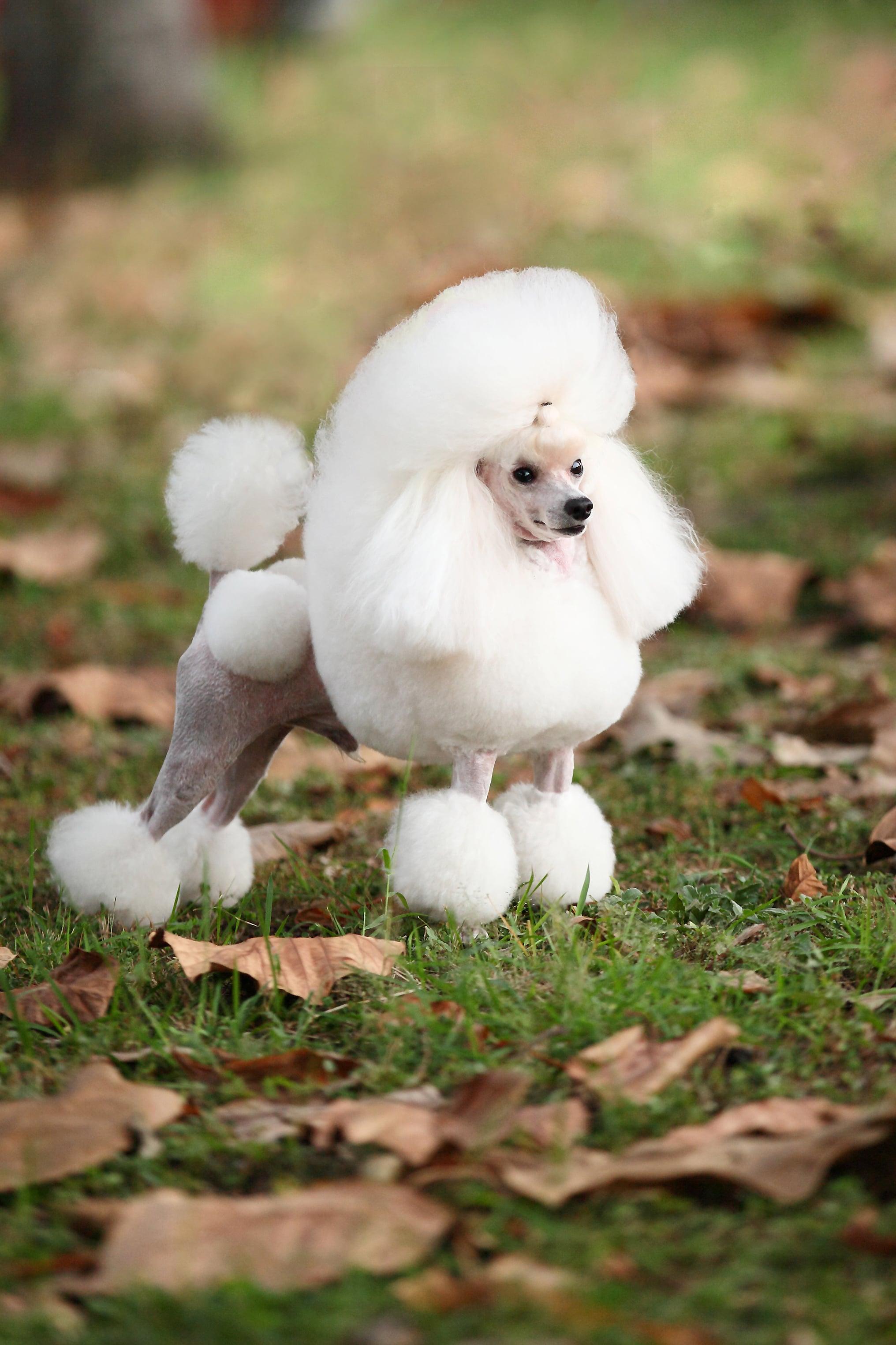 毛髮是貴賓犬無與倫比的榮耀,百年來其造型一直在繁複中求變化、變化中求經典