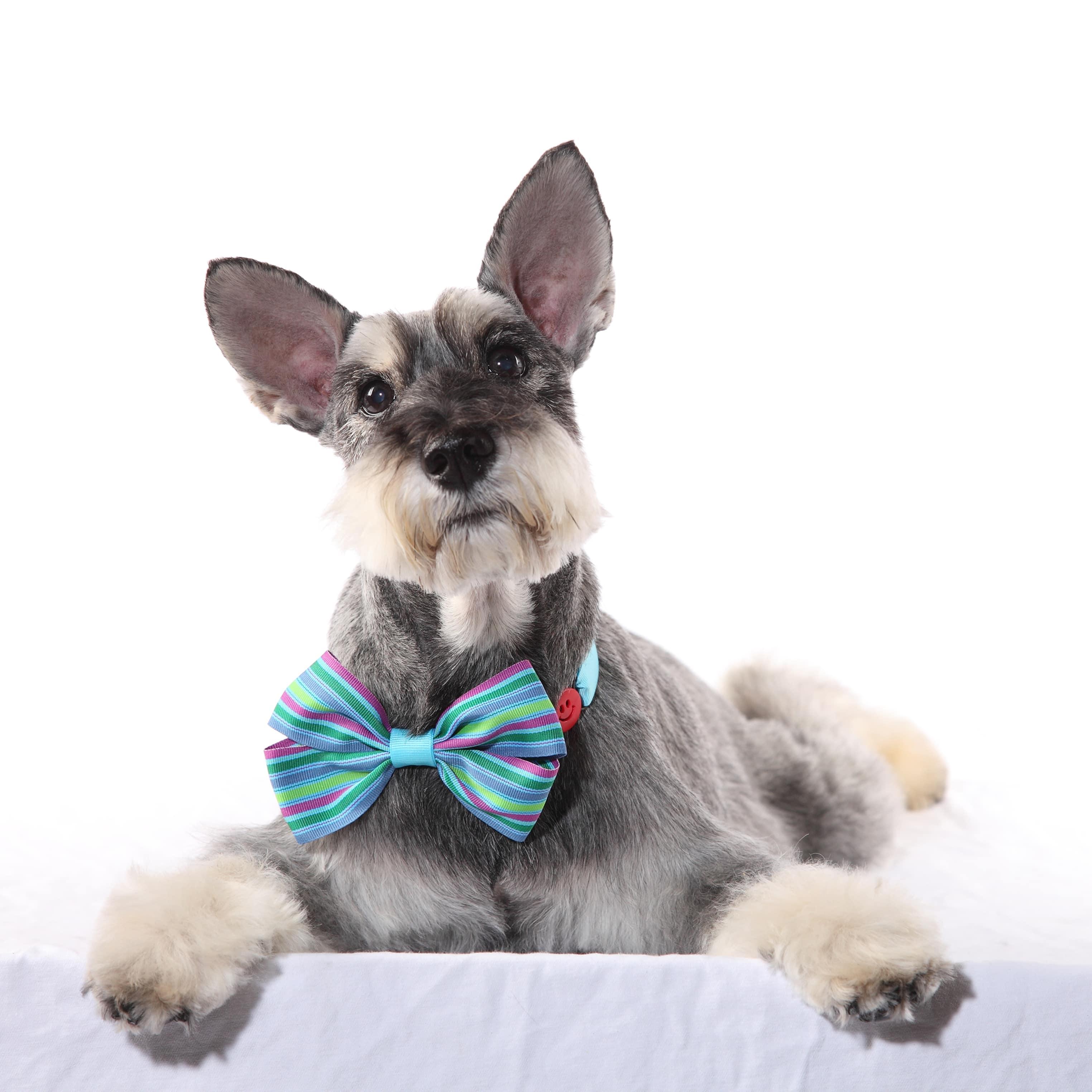 迷你雪納瑞於1899年以獨立犬種之姿站上德國狗展的舞台,成為唯一非英國產的㹴犬