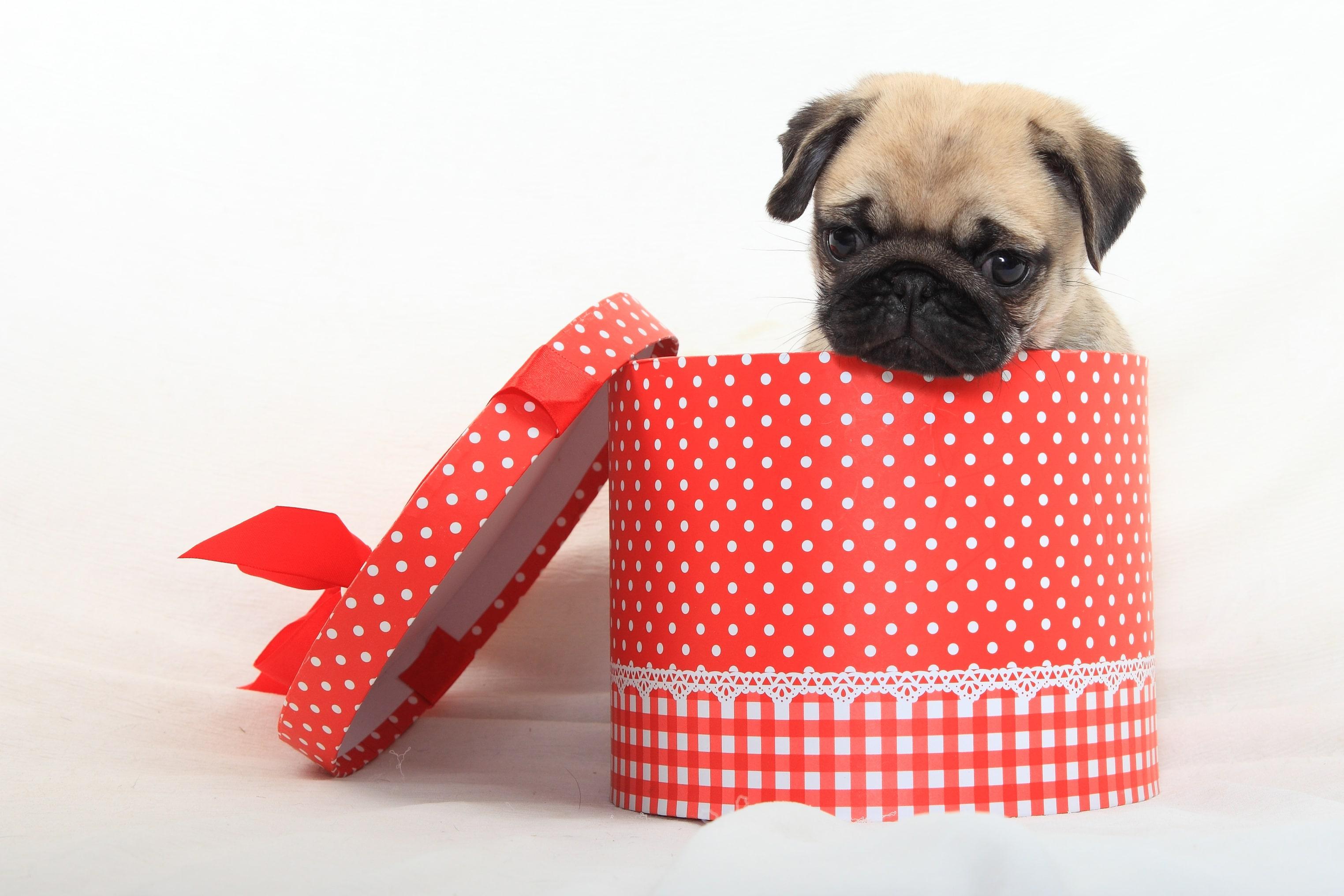 在中國古時,巴哥犬常被宮廷作為致贈賓客的尊貴禮物