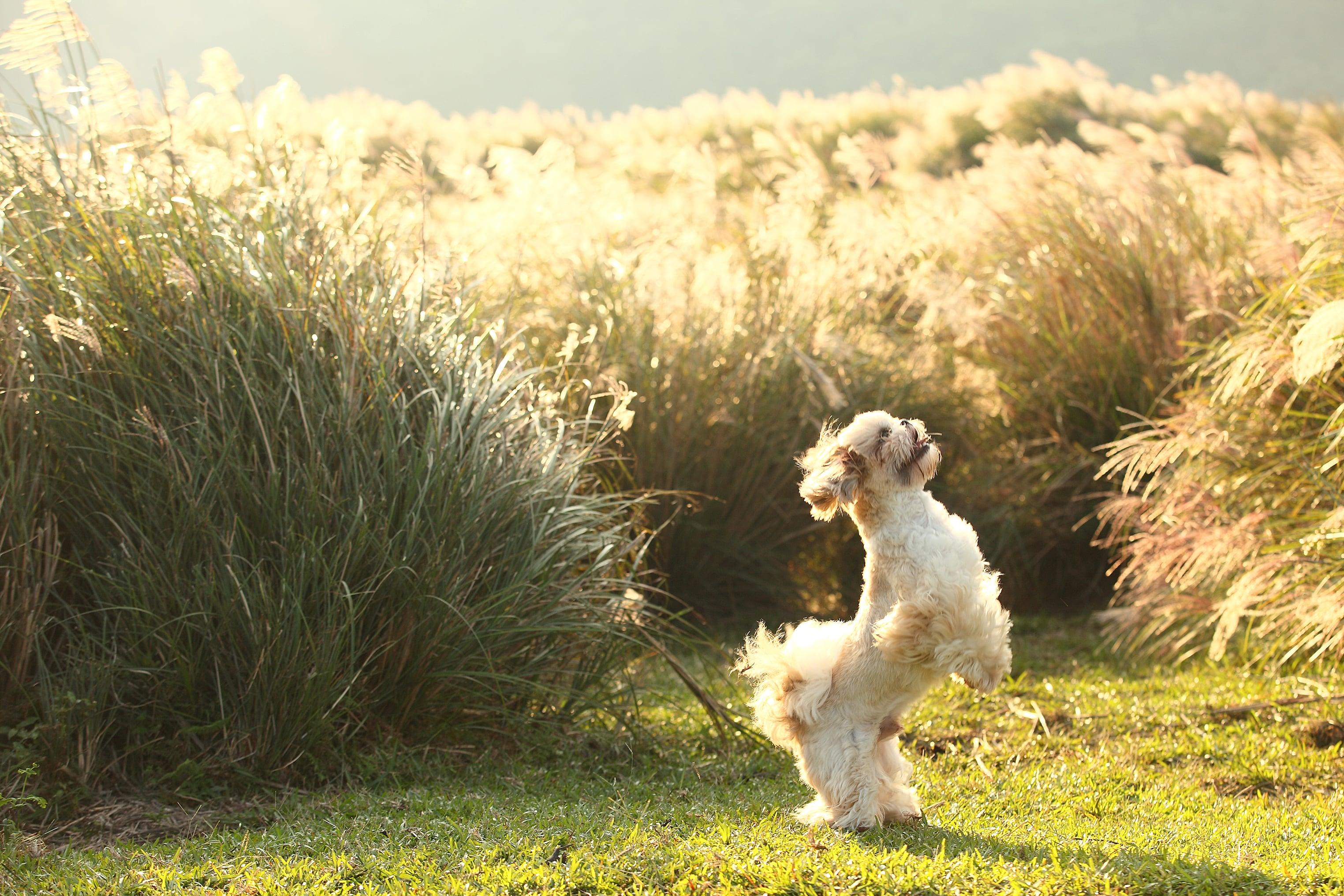 西施犬在清朝宮廷中有著特殊的尊貴地位,民間難以見到這珍貴犬種的廬山真面目