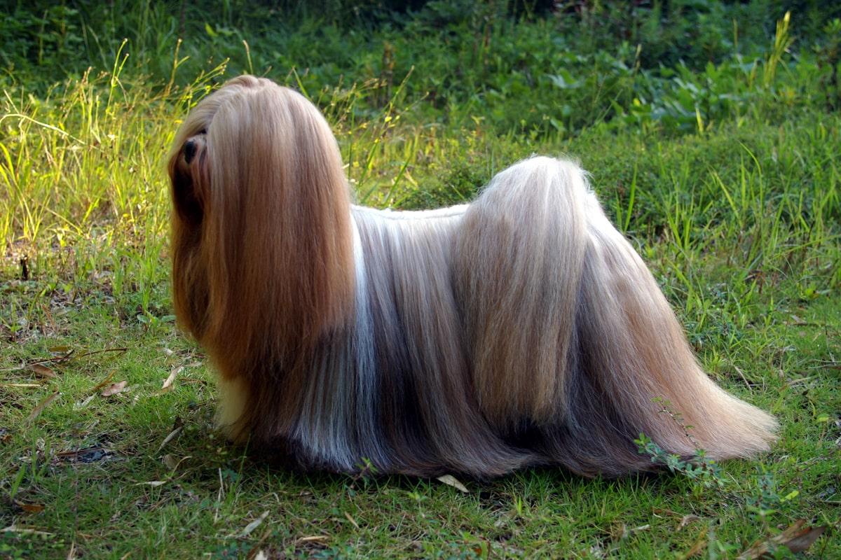 西藏拉薩犬被視為西施犬的前身