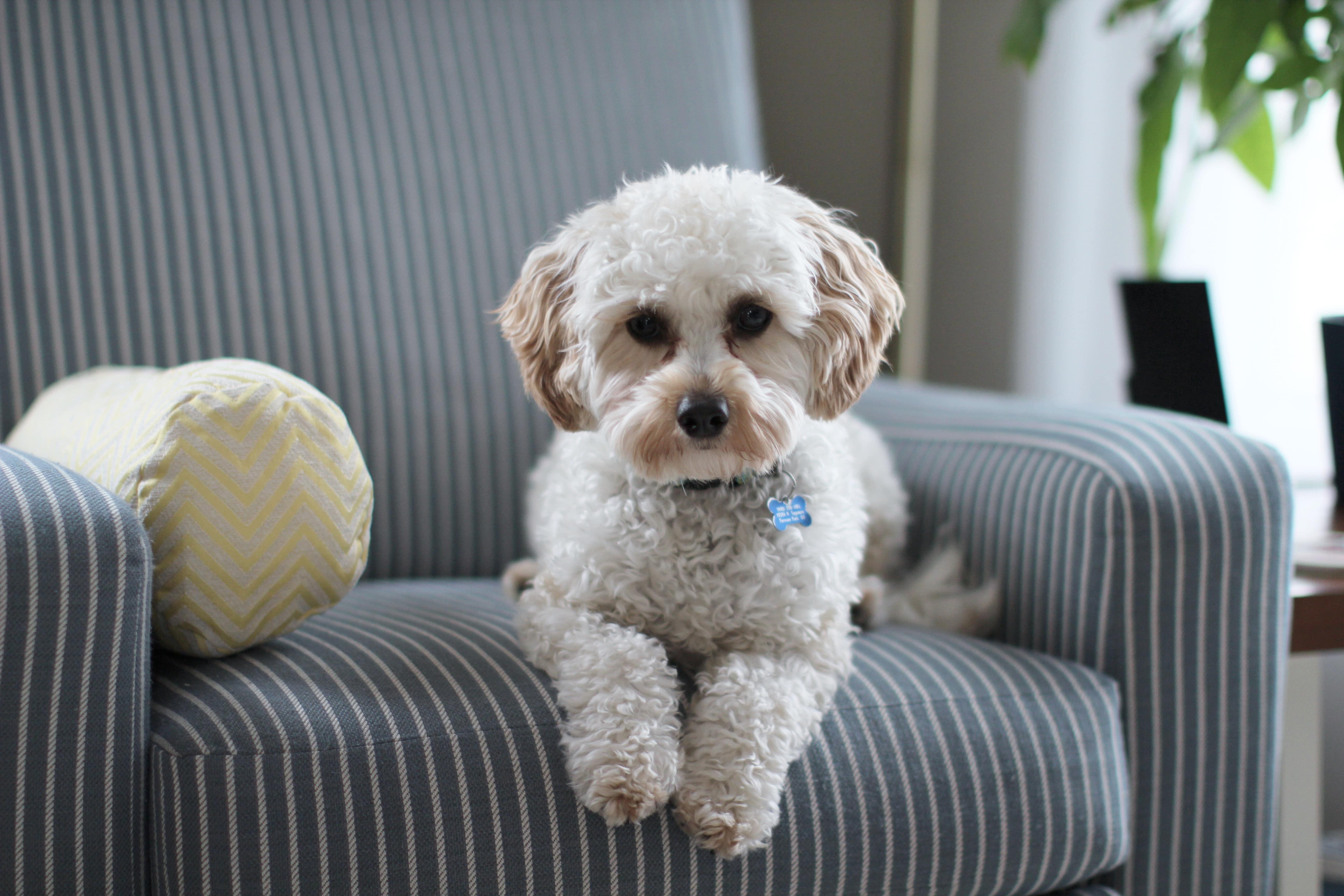 若飼主覺得狗狗不用外出,只要供在家裡吃好睡好,可能會造成小型犬行為問題與精神疾病。