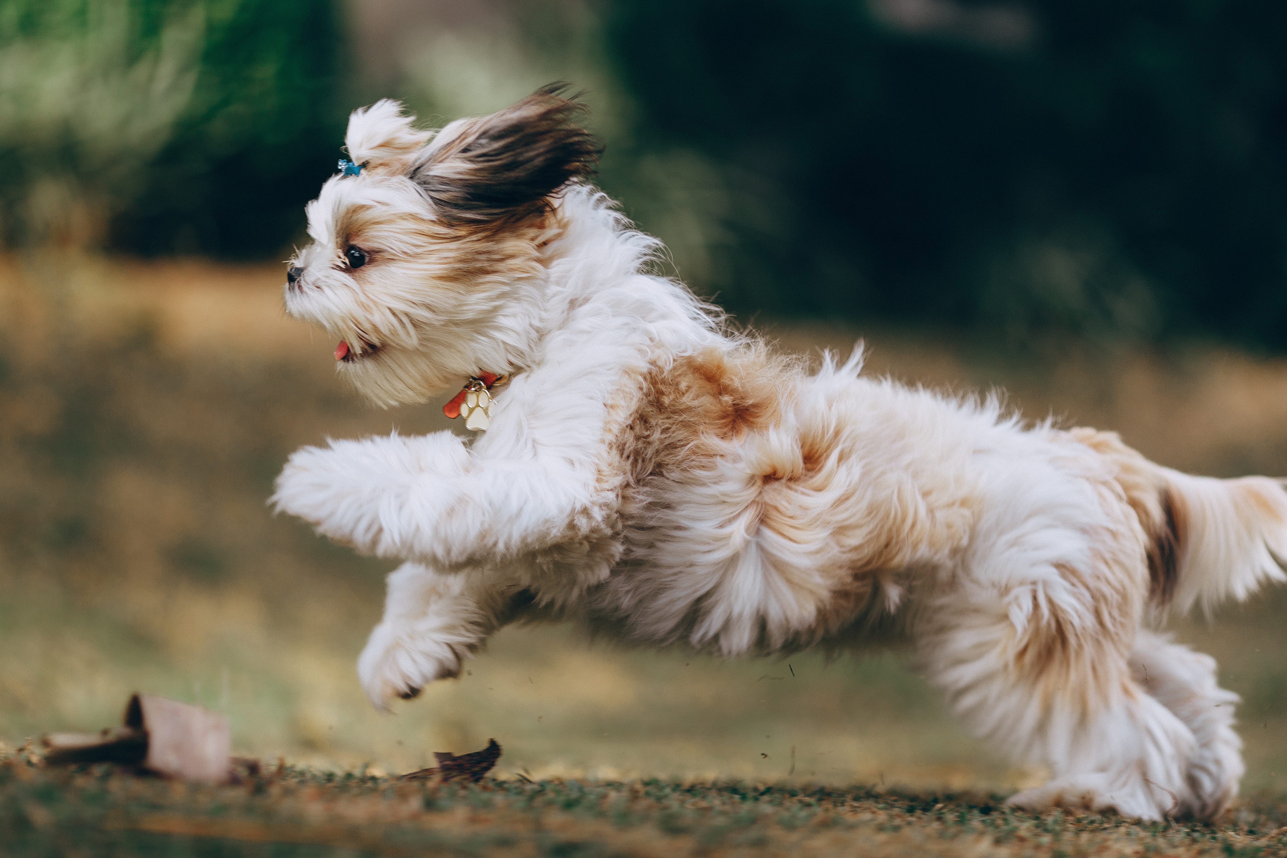 小型犬往往想透過跳躍接近飼主,卻忽略了他們脆弱的身體構造。
