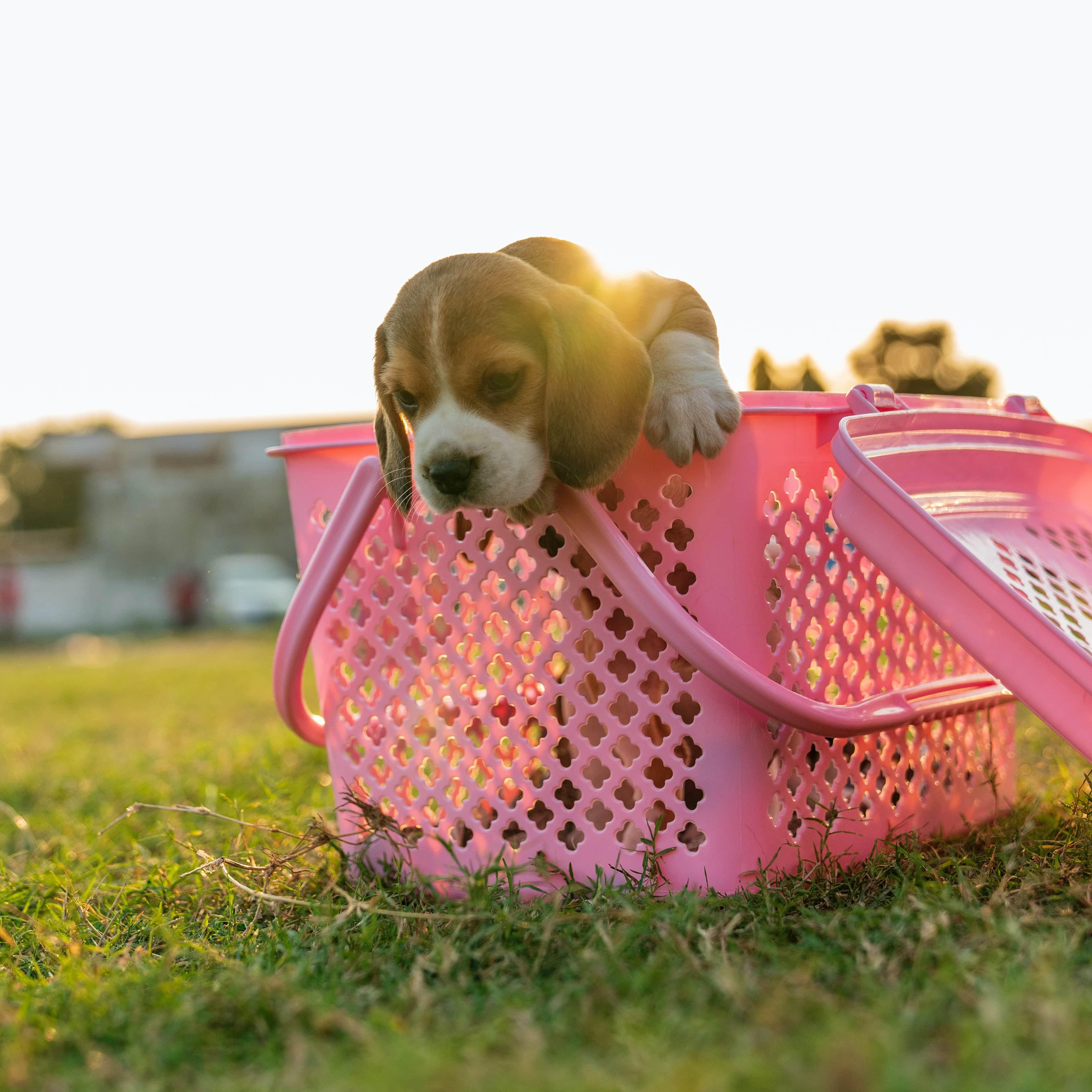 籠內訓練有利於未來帶狗狗出門時,他們不會太過驚慌失措。