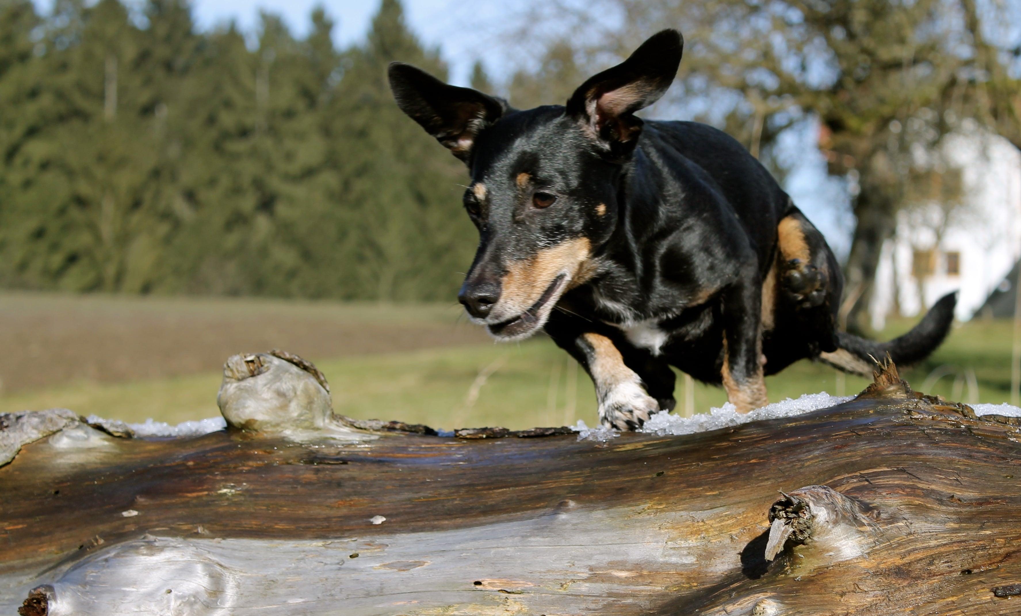 當時培育臘腸犬是為了在狩獵時更加有利
