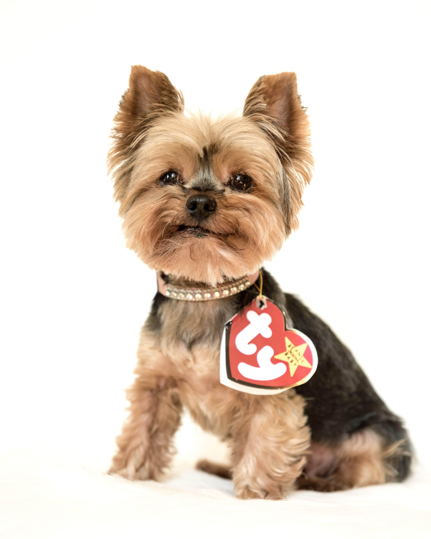 可愛活潑的約克夏是治療犬的鼻祖