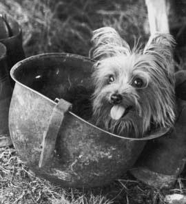 名為Smoky的約克夏是二次大戰期間的知名狗英雄