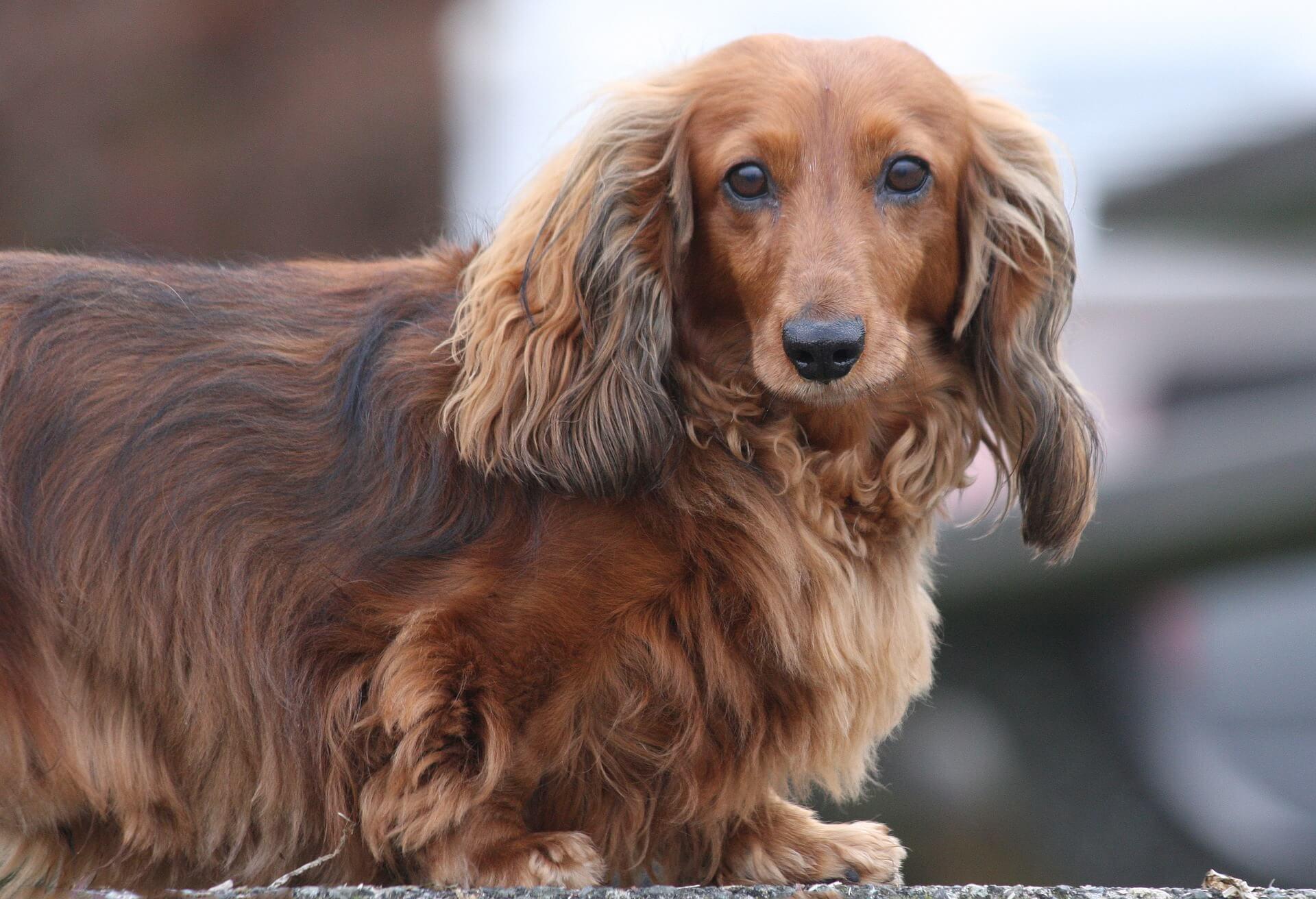 針對長毛犬可以選擇蛋白質、脂肪等營養素較豐富的飼料