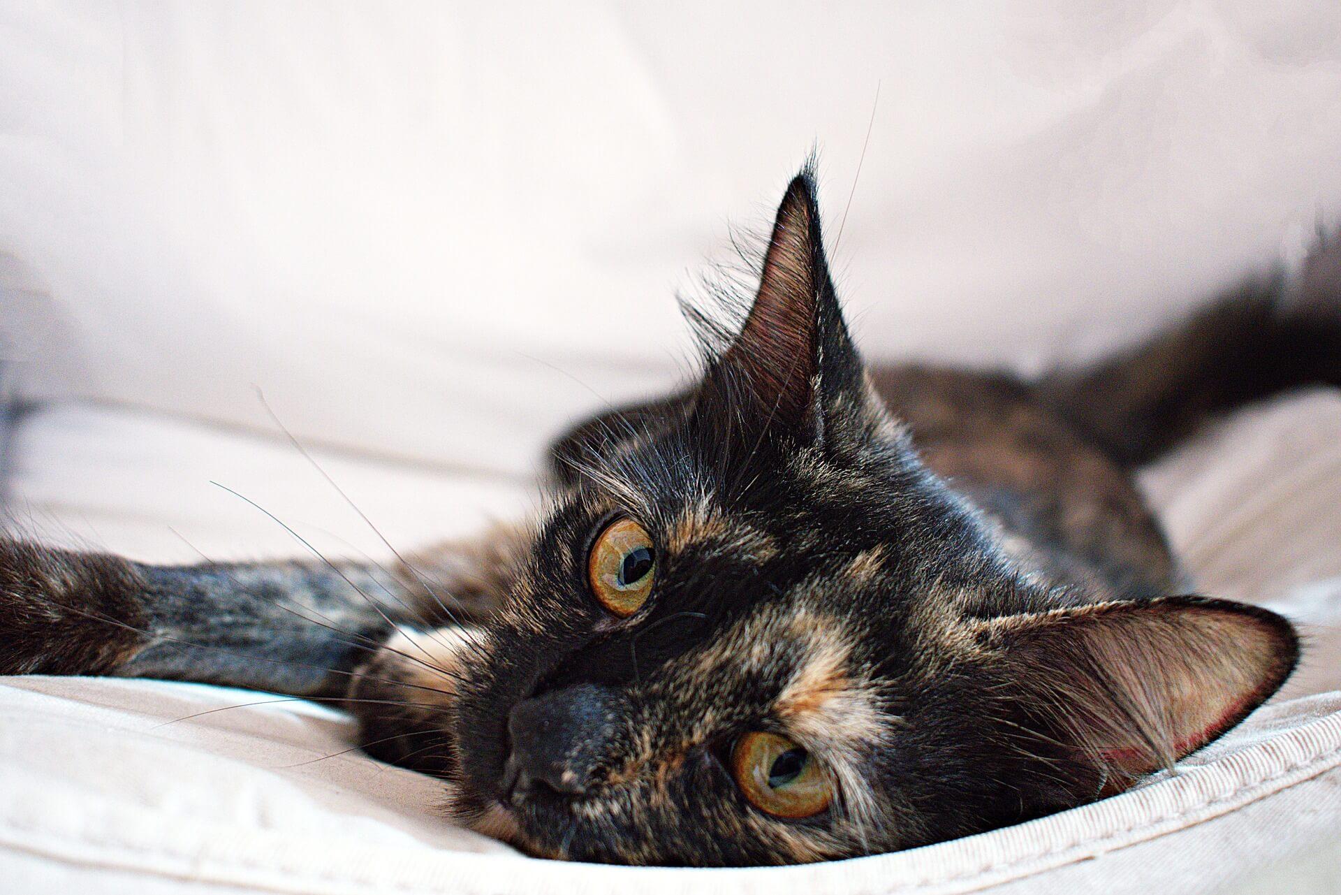 米克斯玳瑁貓