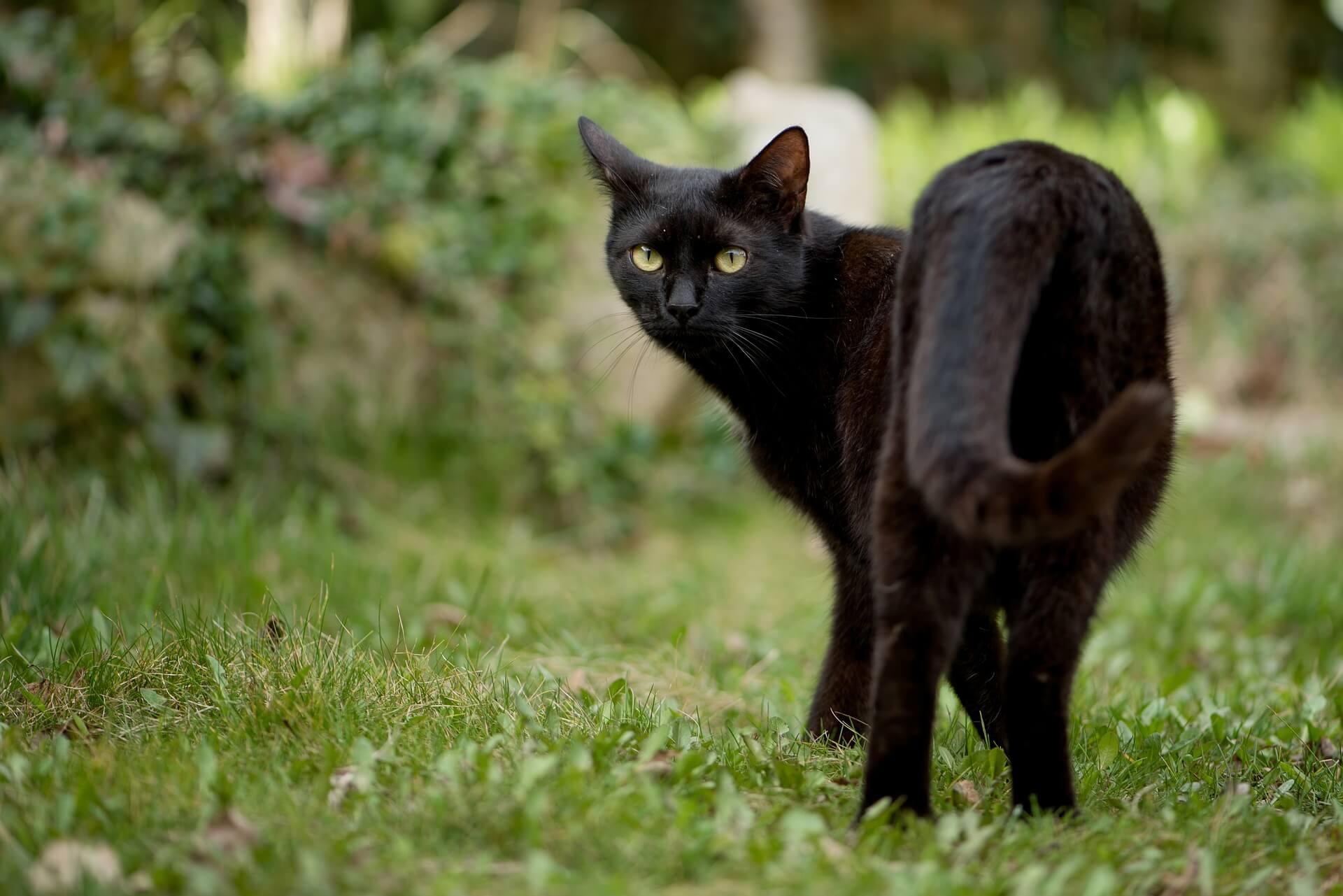 米克斯黑貓