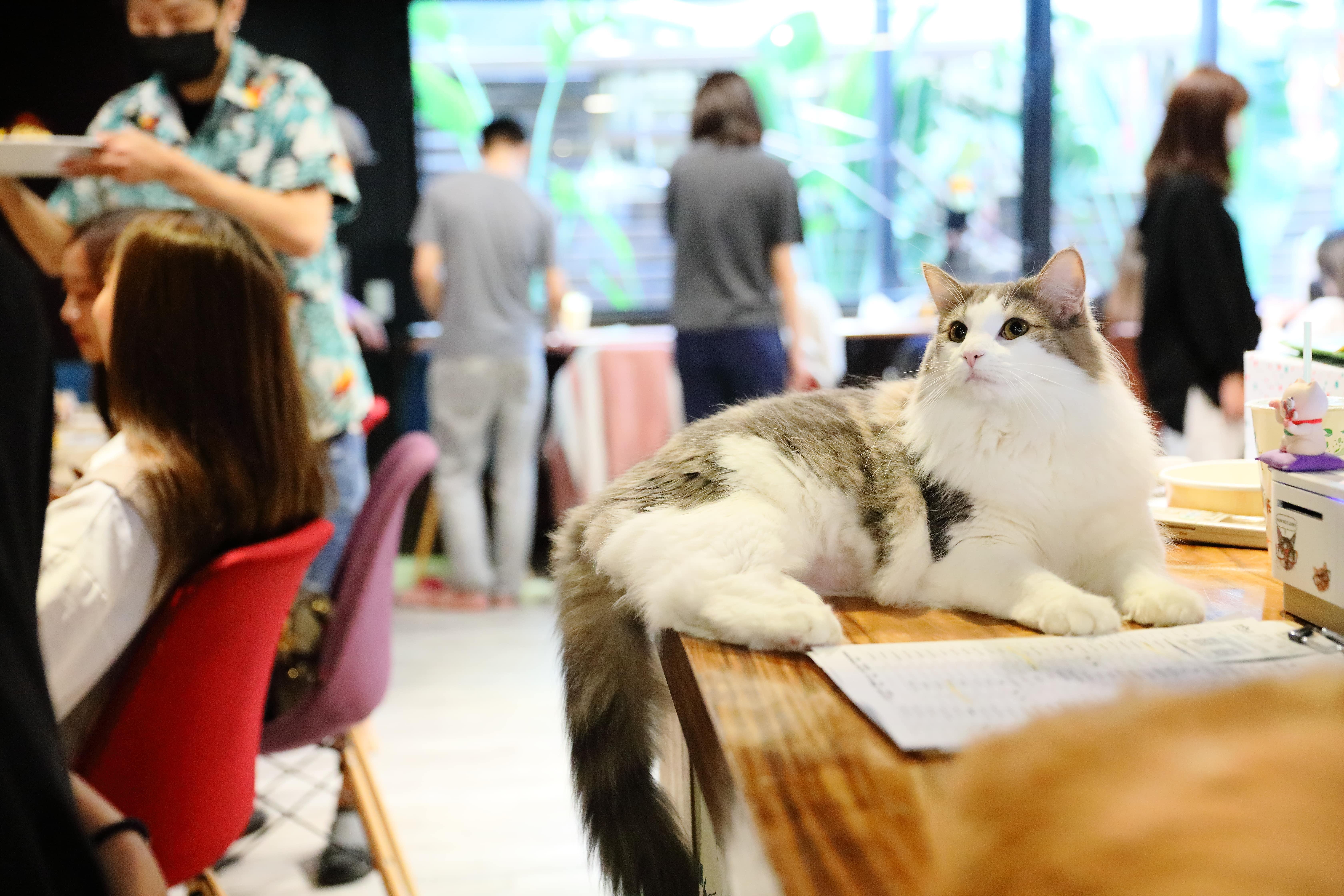 在肉球森林隨處可見貓咪們在店裡自由穿梭,不時可以看到他們躍上跳台休息,或是四處撒嬌玩耍