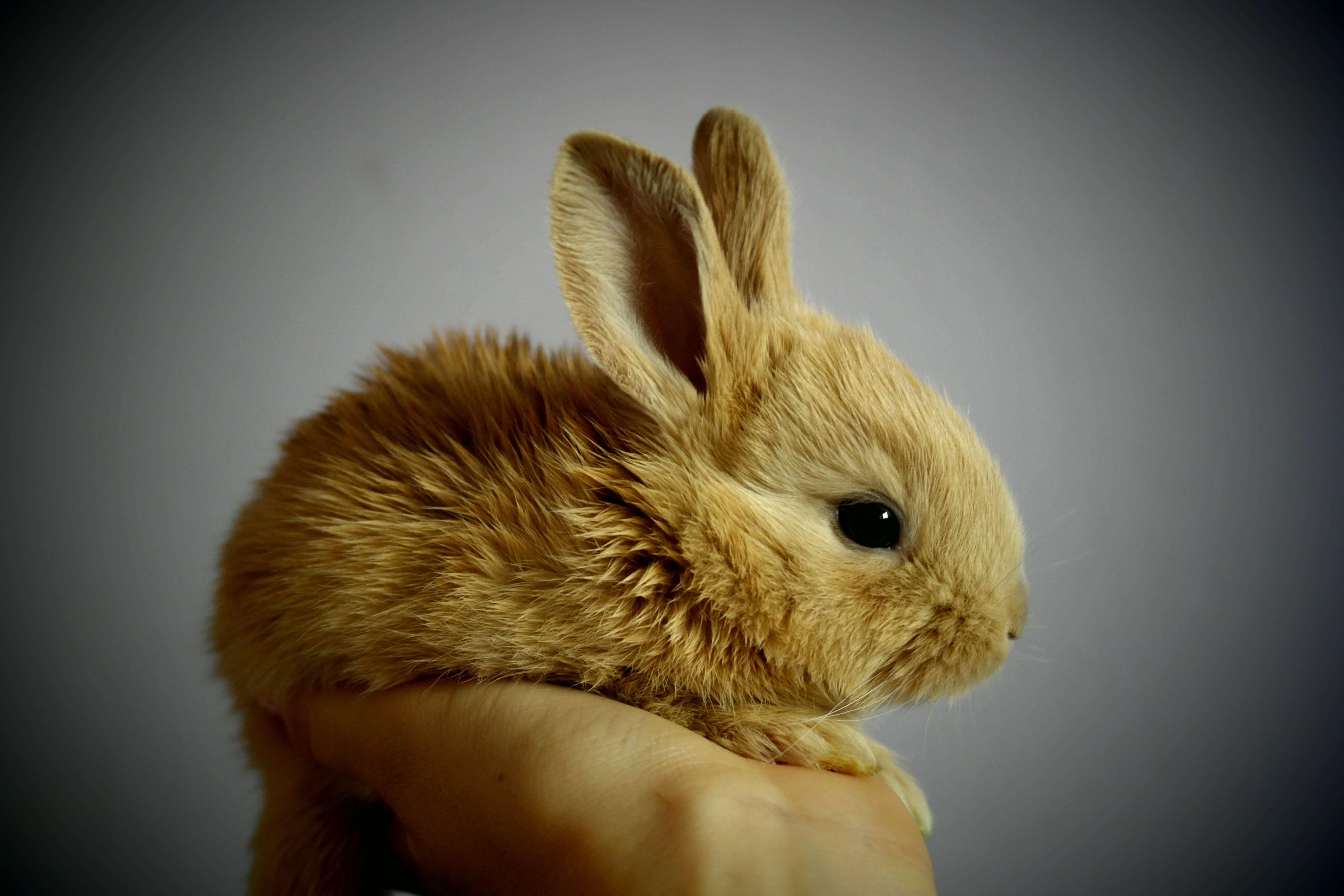 以領養代替購買是飼養可愛兔子的最佳途徑