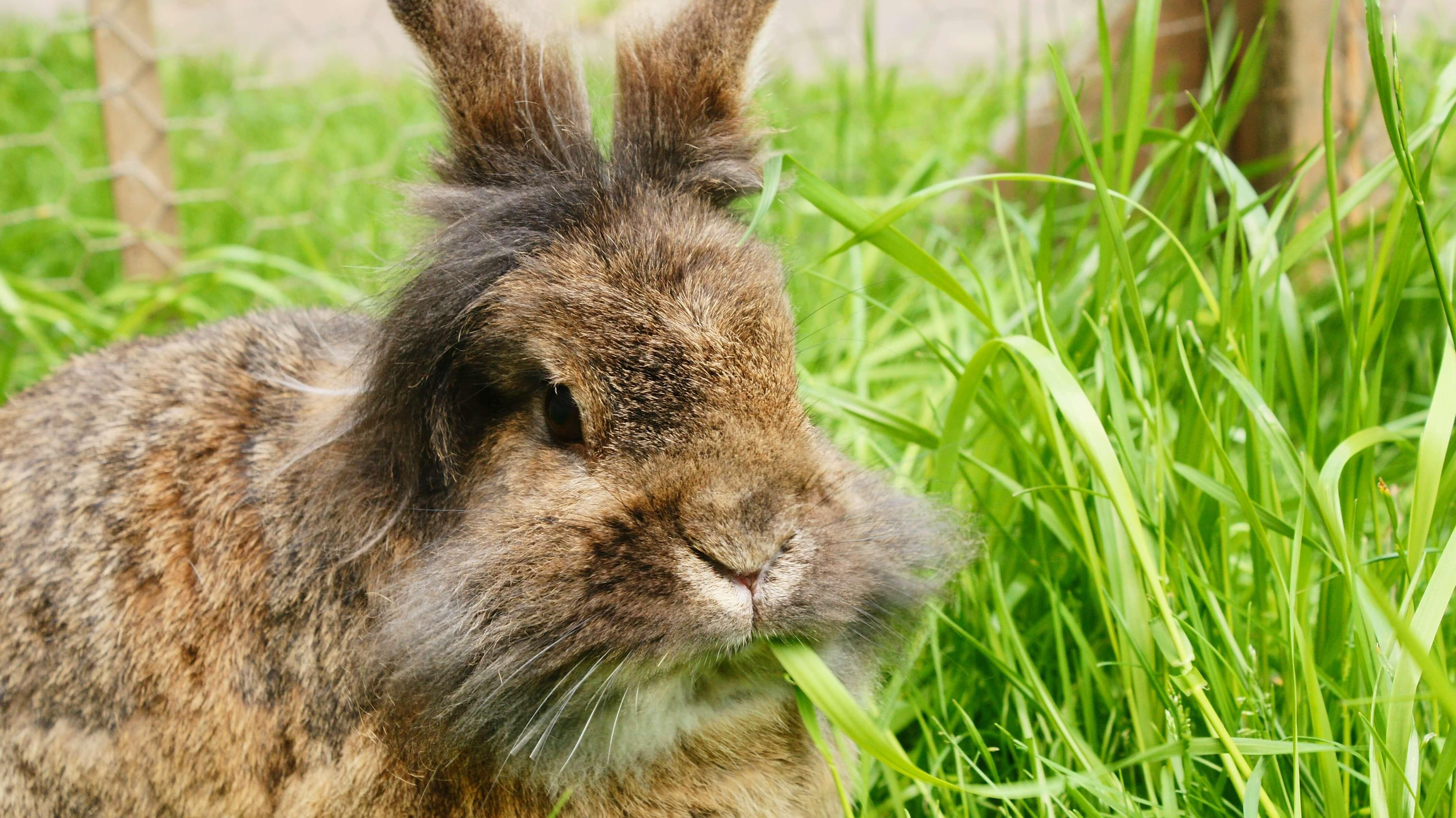 兔子們多以牧草為主、飼料為輔