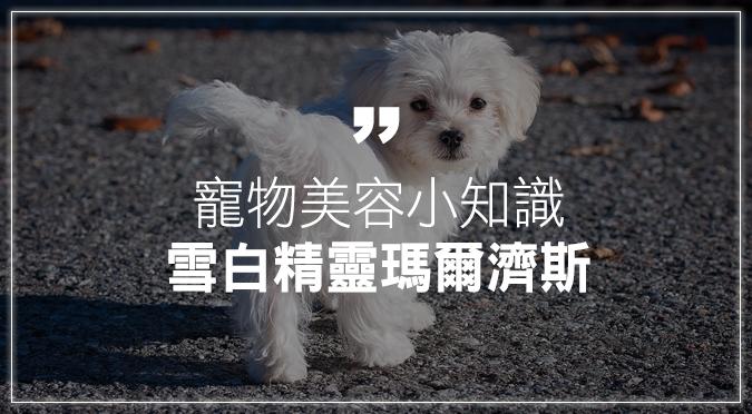 寵物美容小知識:雪白精靈瑪爾濟斯